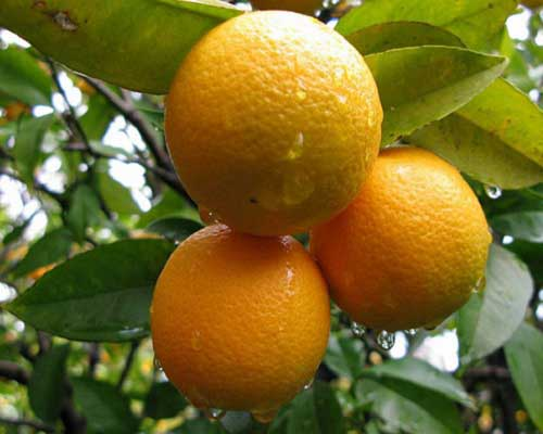 About Orange Oil