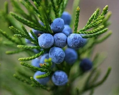 About Juniper Berry Oil