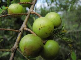 Green Amla Extract